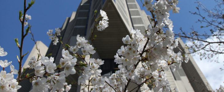 Cherry blossoms in bloom in front of Robarts Library