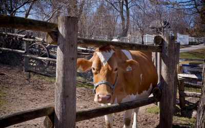 Riverdale Farm - cow